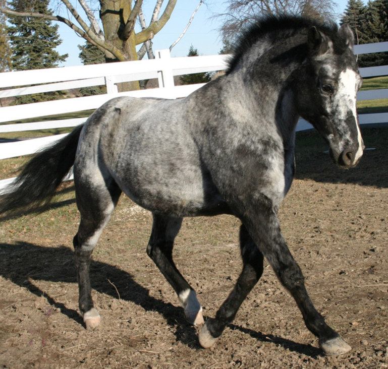 MARBLE: Red or blue roan, with dark coloring on the edges of the body and a frost pattern in the middle