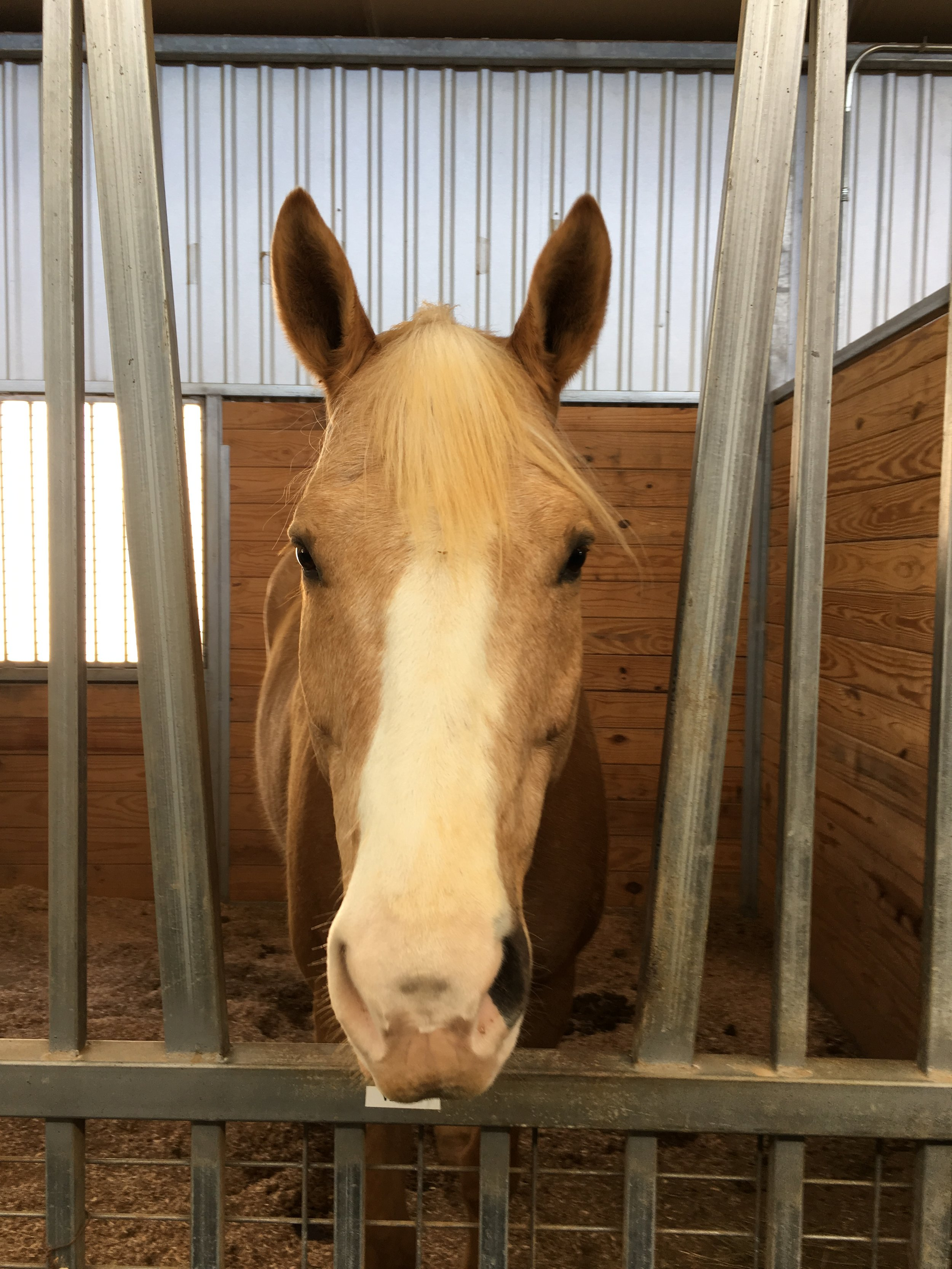 Equest Therapy Horse Jonah is also a Palomino