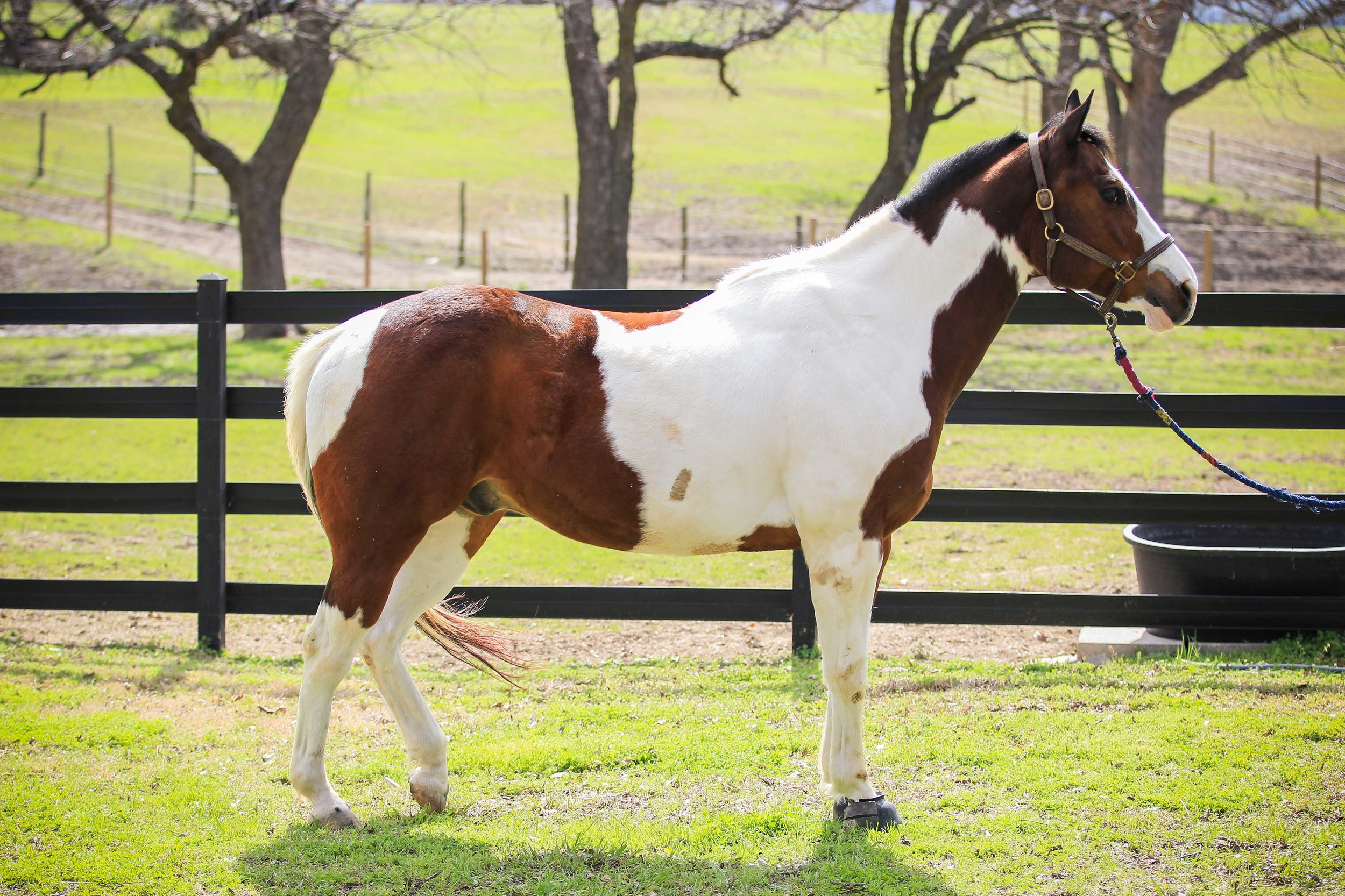 Equest Therapy Horse Rico is a Paint