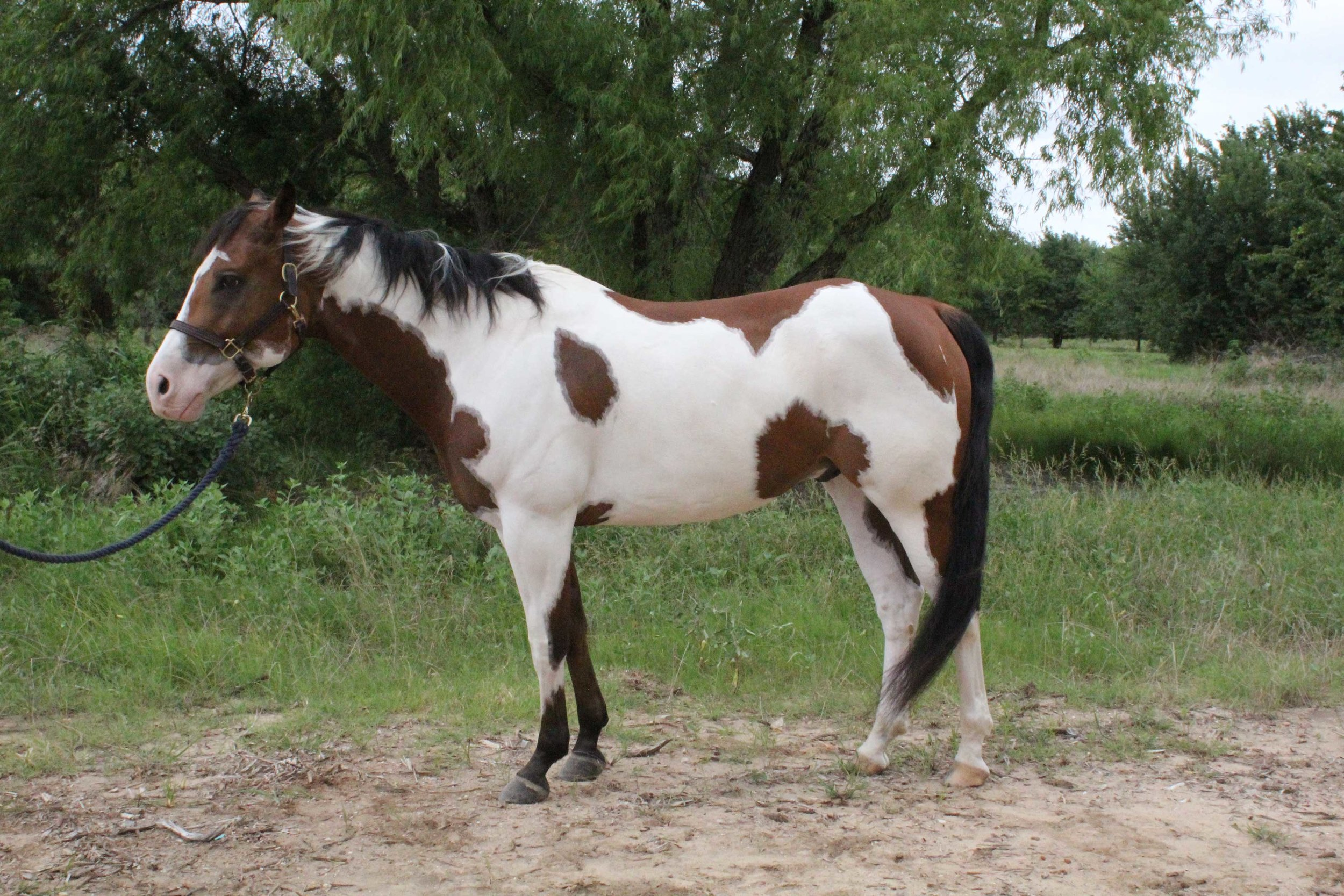 Equest Therapy Horse Mac is a Paint horse