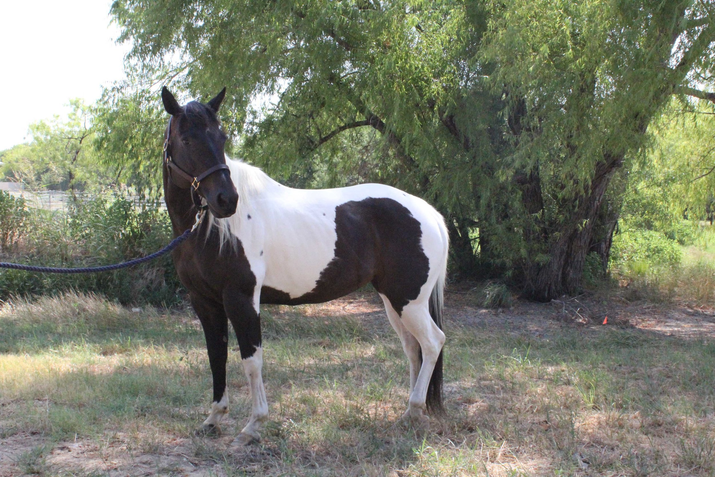 Equest Therapy Horse Vegas is a Paint horse