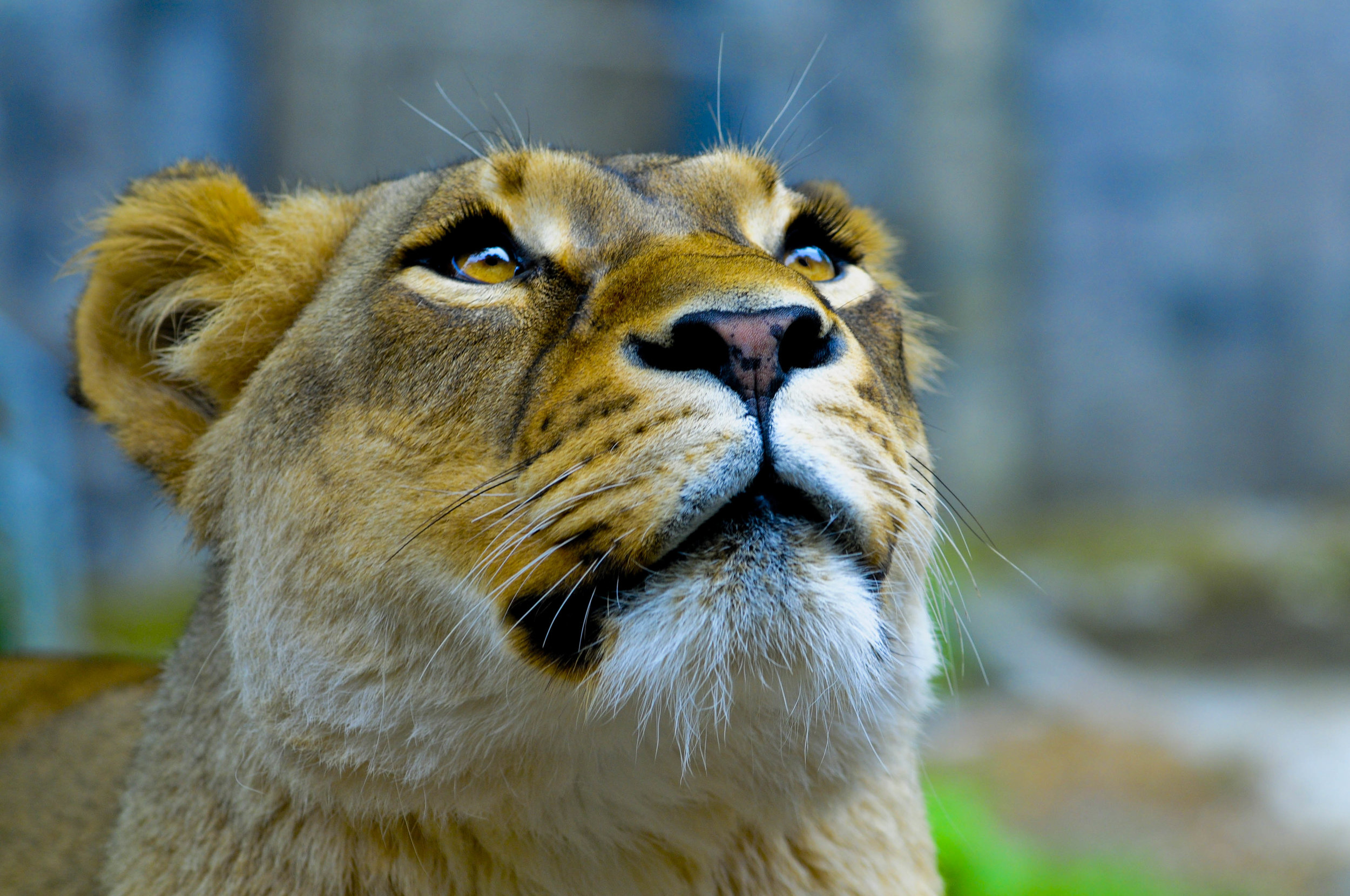 Lioness_looking_up.jpg