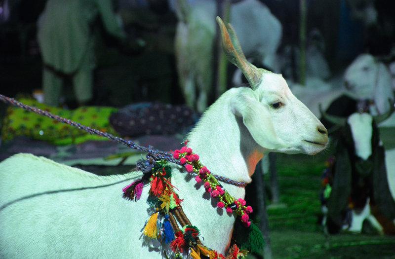goats--50.jpg