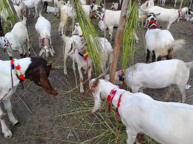 GoatsEid-ul-Adha-2016.jpg