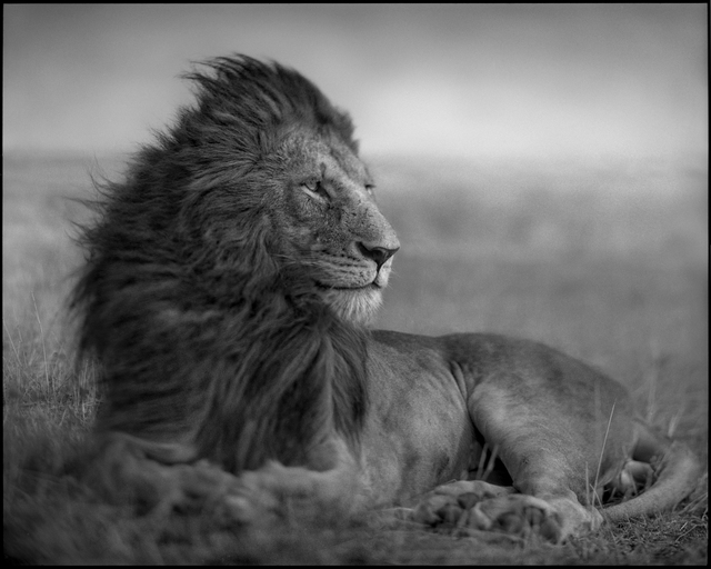 large_lion.jpg