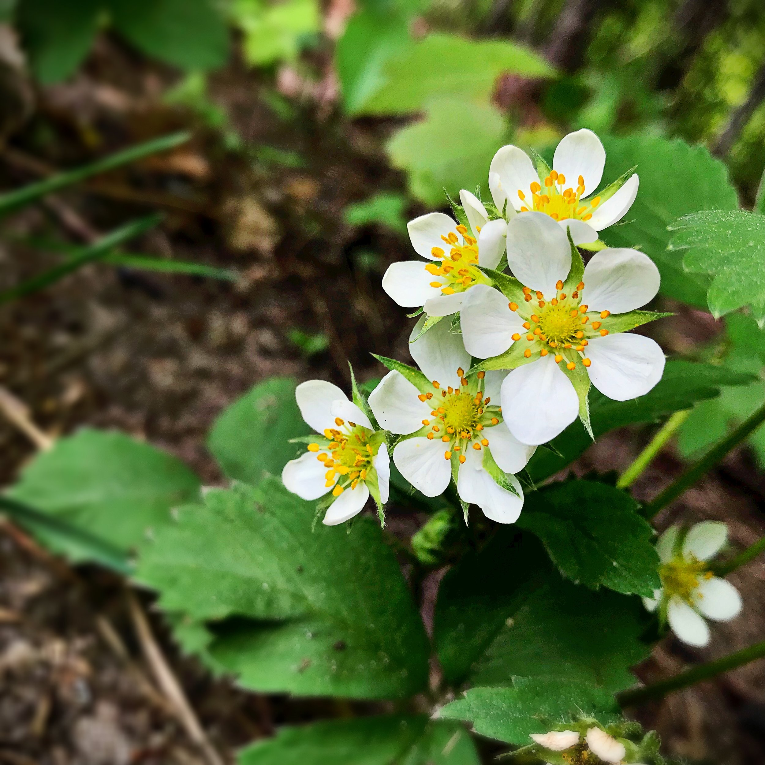 Woodland Strawberry  (Fragaria vesca ) at a rest stop off of I-75 somewhere north of Bay City, MI. (c) Erika Galentin