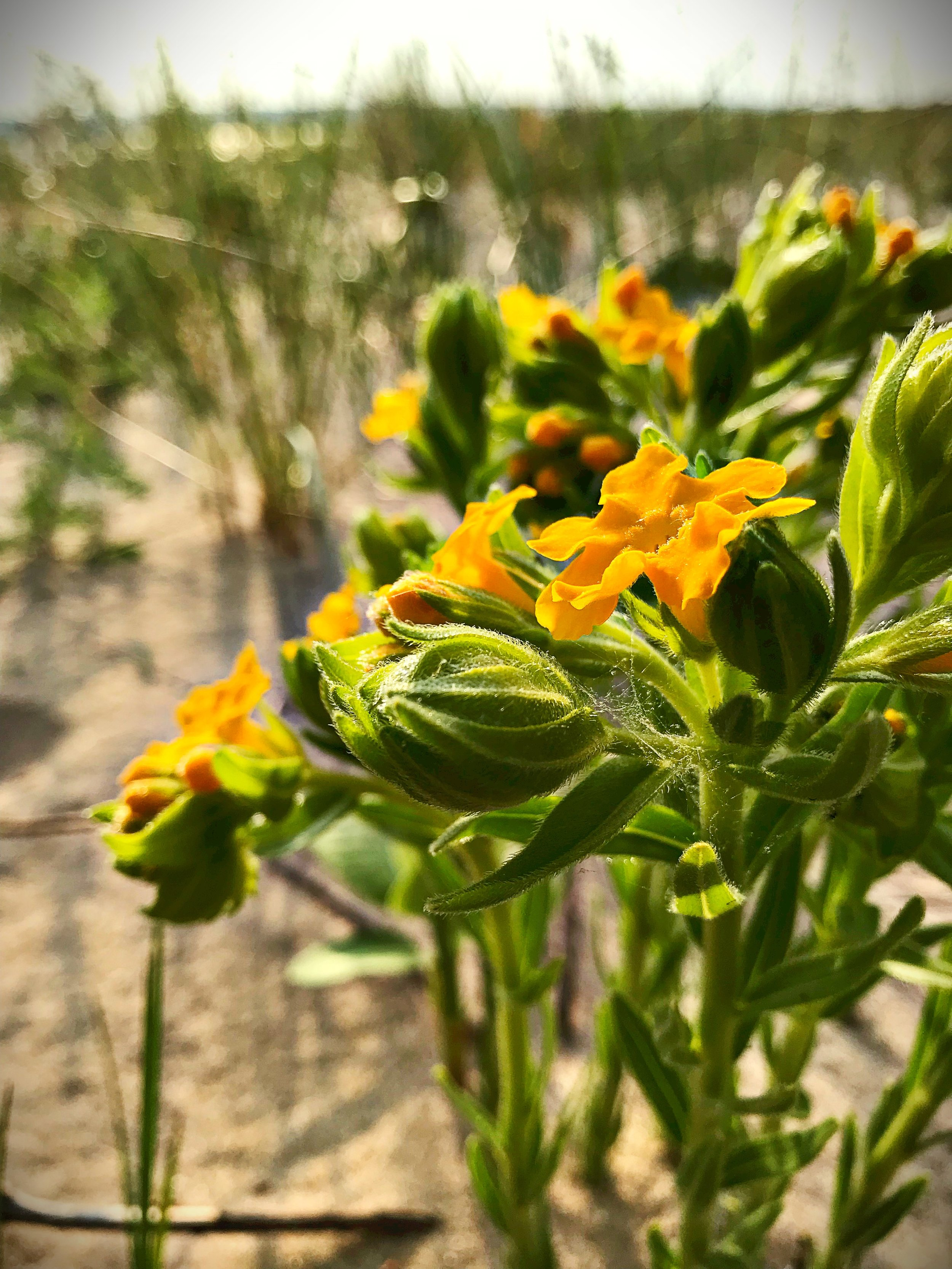 Hoary puccoon  (Lithospermum canescens  )  is a member of the Borage family  (Boraginaceae) .