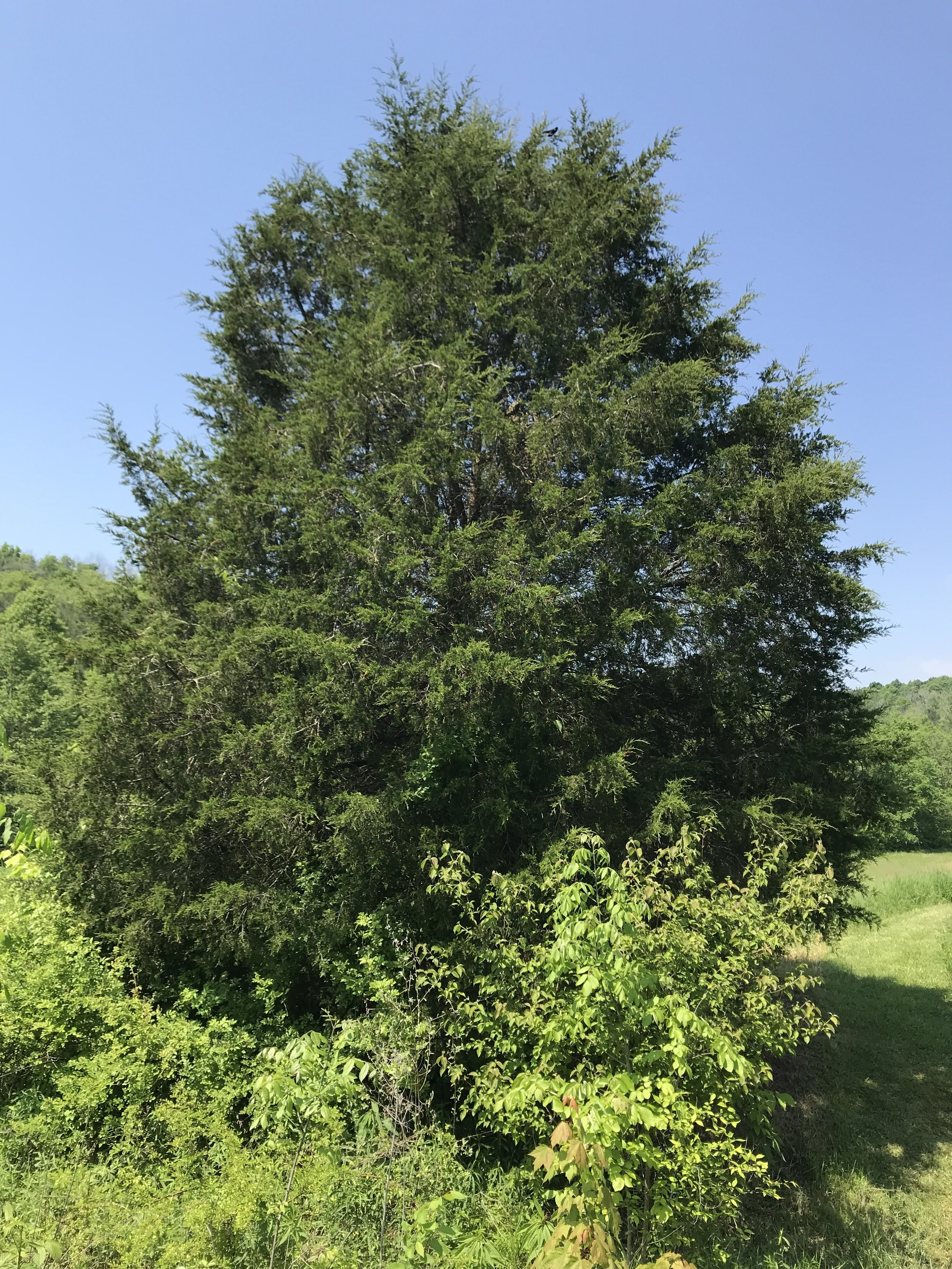 The Eastern Red Cedar (Juniperus virginiana) that we harvested from. Photo: Erika Galentin