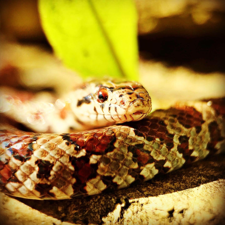 Milk Snake. Photo: Erika Galentin