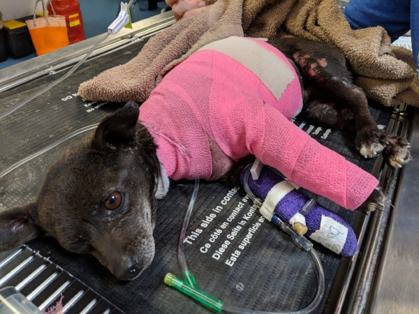 Click here to donate to Lovely's medical care! #SaveLovely