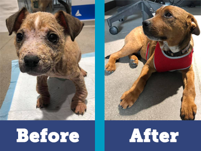 Mistletoe has transformed thanks to your support and his loving foster home!