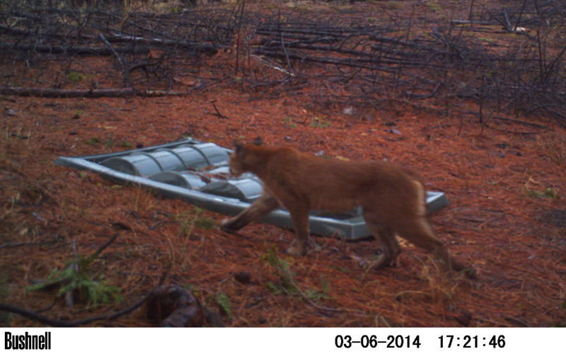 Cougar and Dome-Top 500 Guzzler in Plumas National Forrest