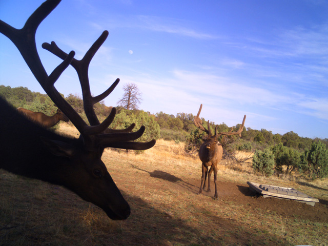 New Mexico Elk at Dome Top 500 Guzzler