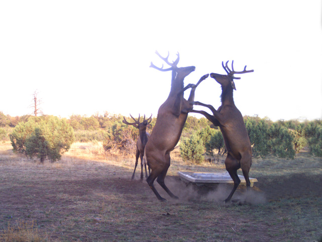 SP-Apache-Elk Fight.jpg