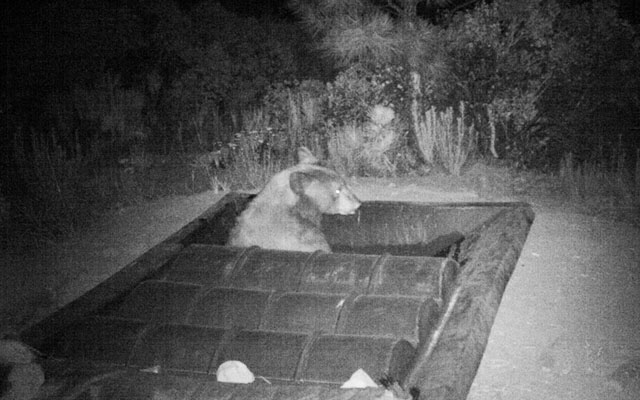 Bear in Wildlife Guzzler