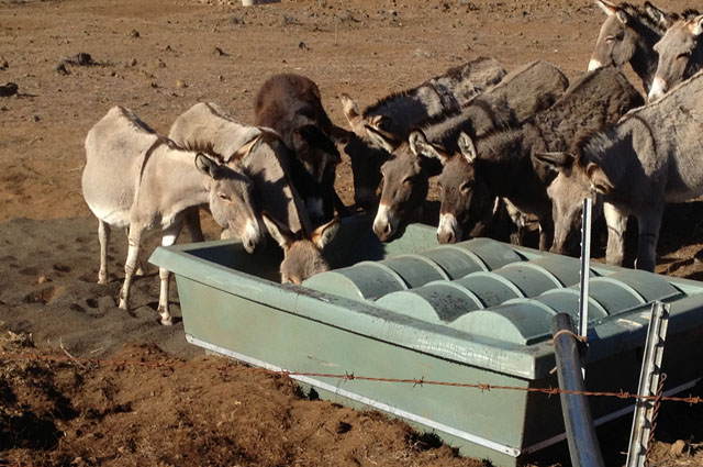 Wild Donkey In Hawaii Drinking from Guzzler