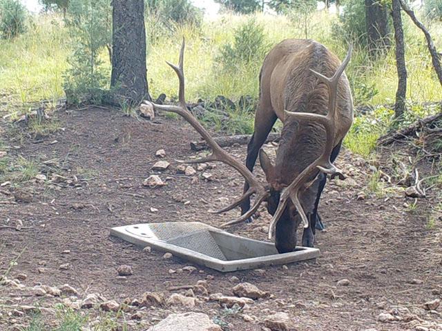 Bull Elk at Wildlife Water Drinker