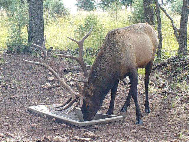 Wildlife Water Drinker and Bull Elk