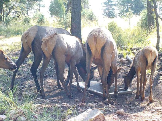 Four Elk Calf at Wildlife Water Drinker