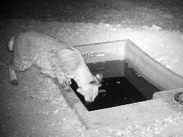 Bobcat Drinking from Wildlife Water Drinker