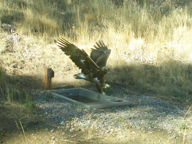 Eagle Landing at Wildlife Water Drinker