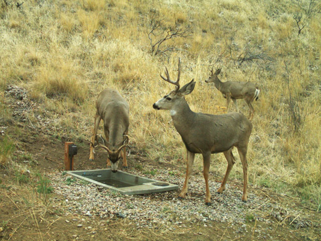 Two Deer At Water Drinker