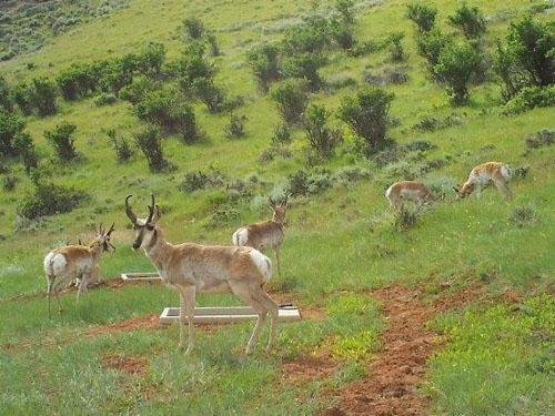 Wildlife Drinker-110 On Hillside in WY