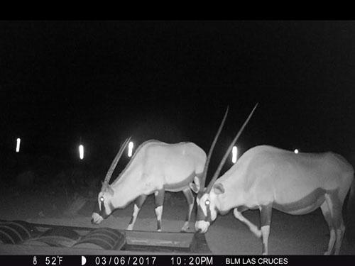 Oryx Drinking from DT-500 Wildlife Water Guzzler