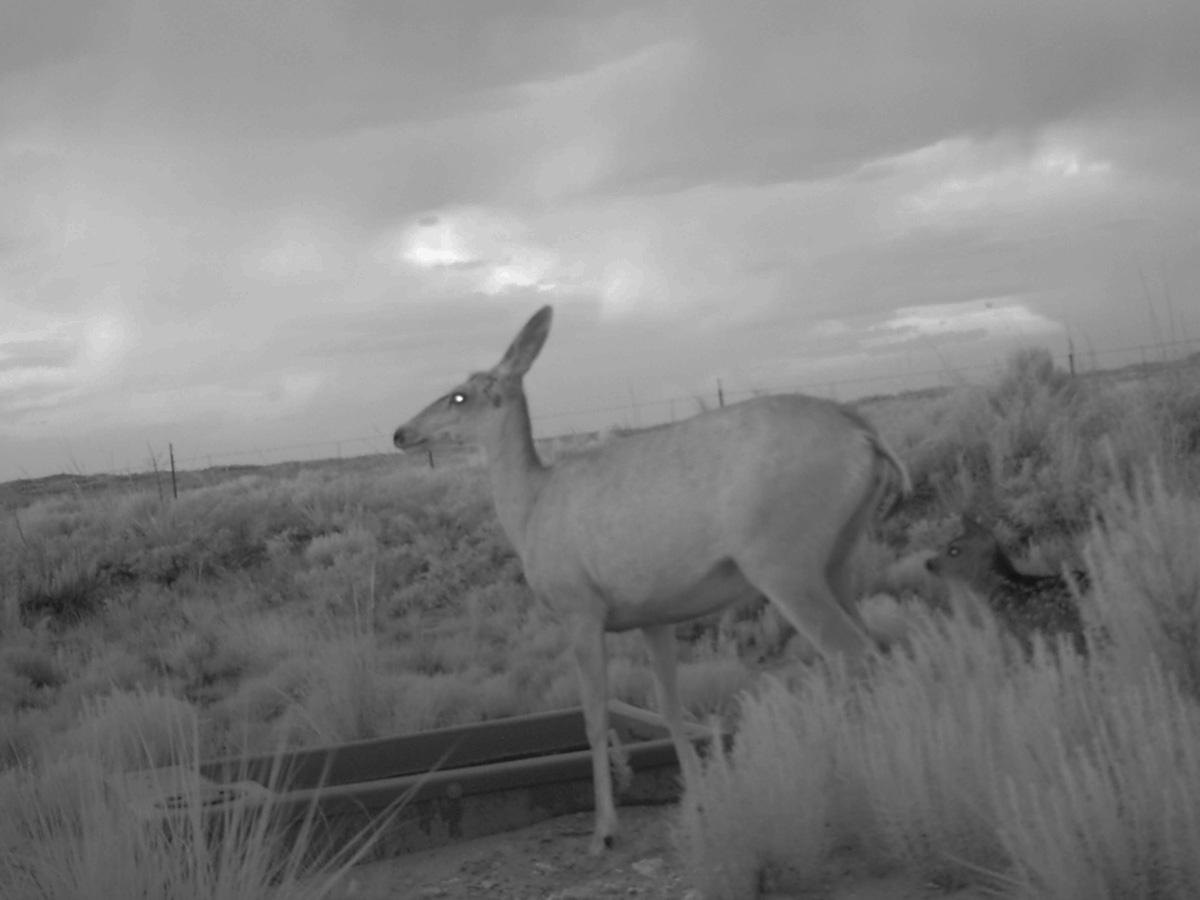 Deer at Dusk Visiting Wildlife Water Drinker