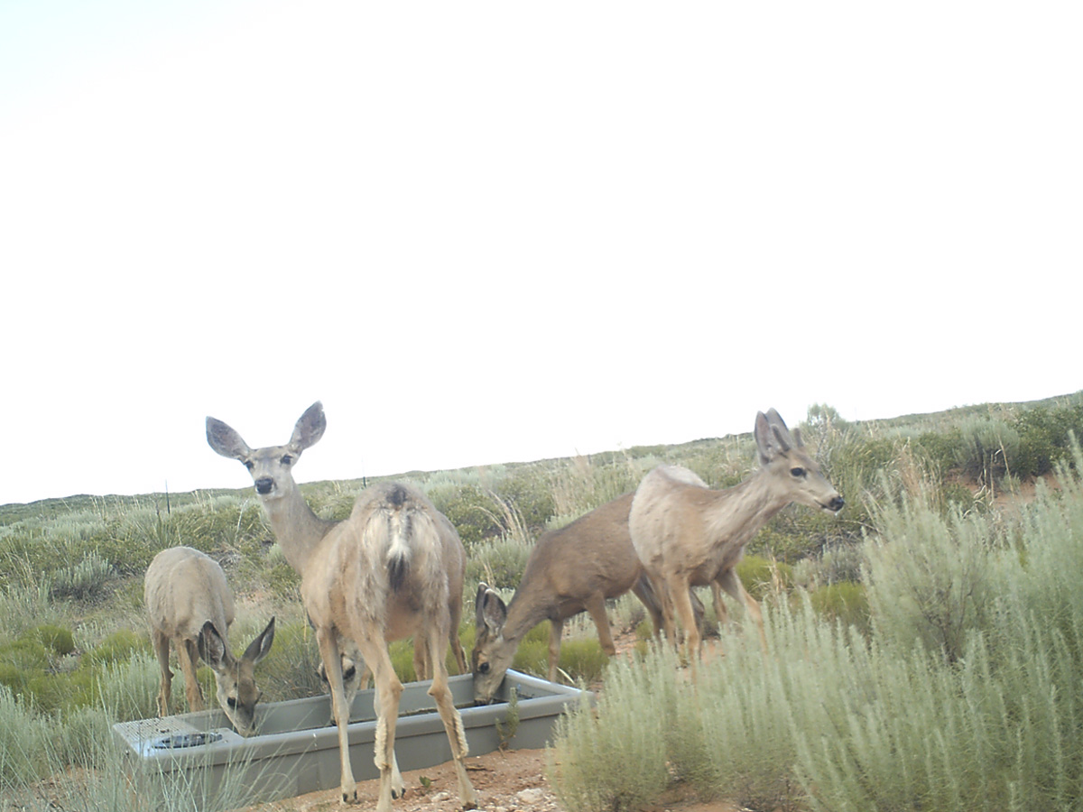 Three Deer Drinking from a Wildlife Water Drinker in New Mexico
