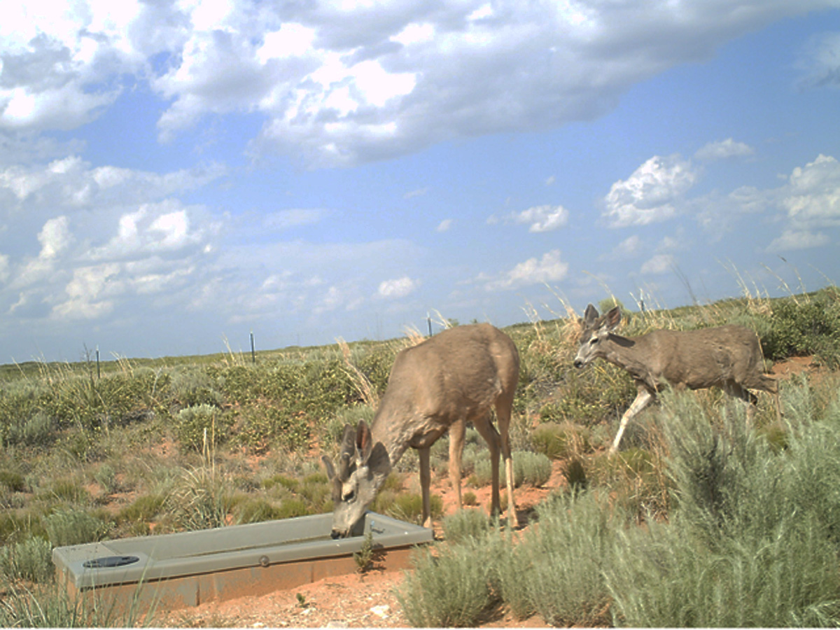 Wildlife Water Drinker and Deer New Mexico