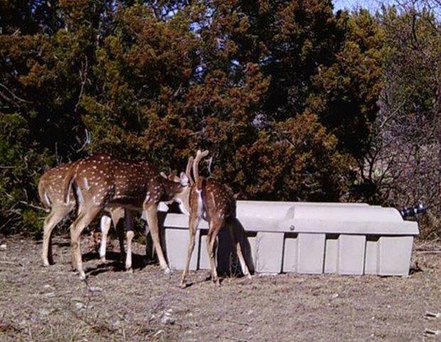 Axis Deer & Low-Pro Wildlife Guzzler