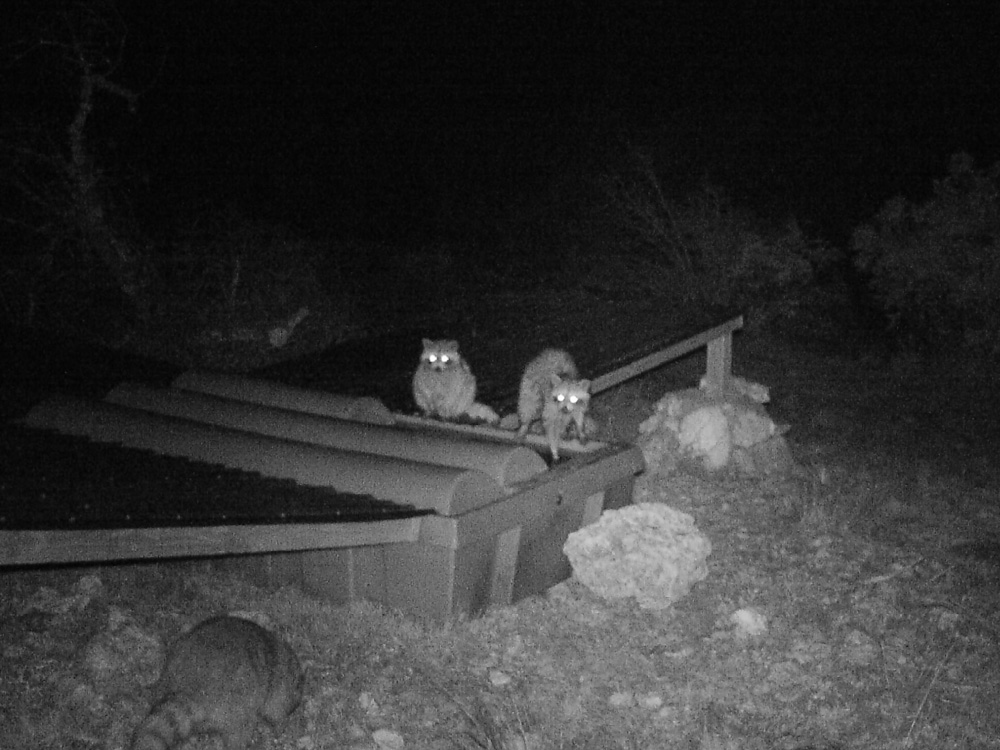 Raccoons At a Wildlife Water Guzzler