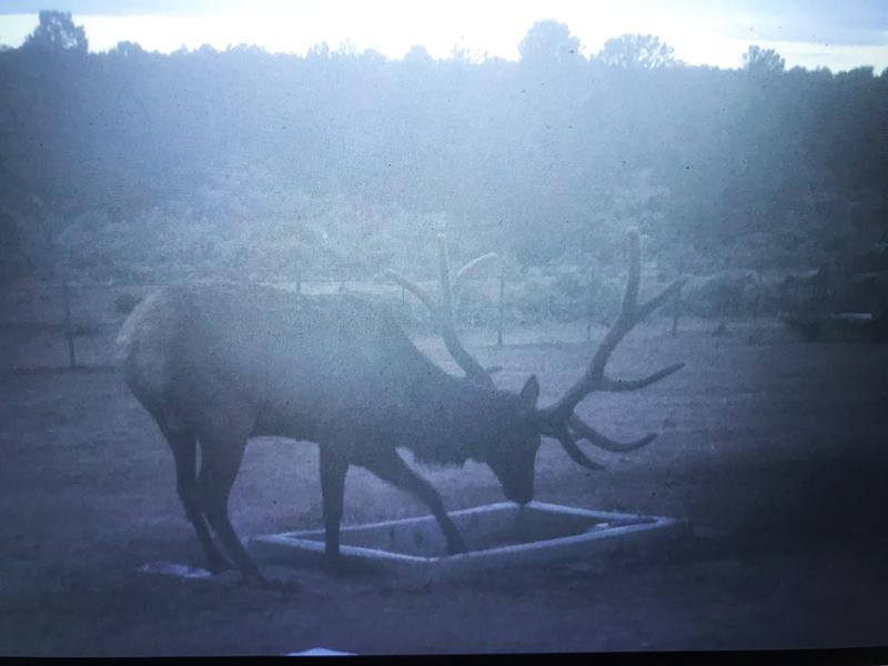 Bull Elk At Wildlife Water Drinker Arizona