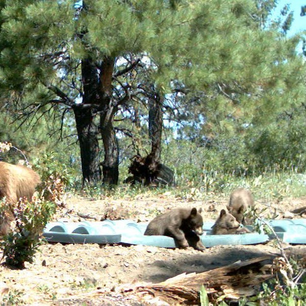 Bear cubs drinking and cooling off in guzzler.