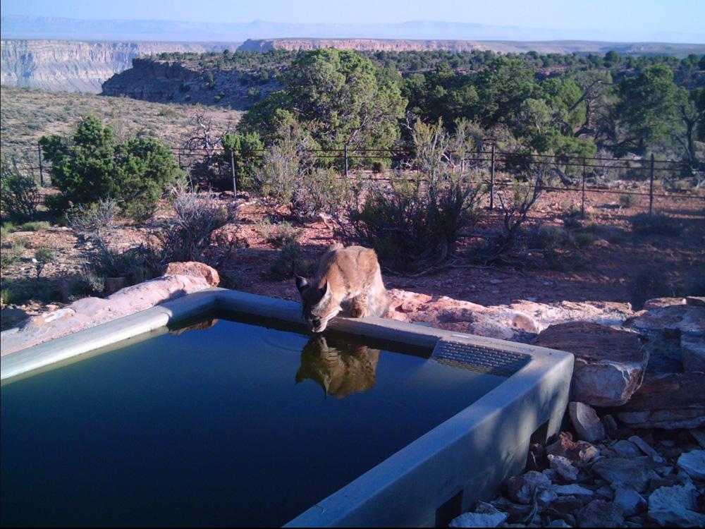 AZ Bobcat Little Springs.jpg
