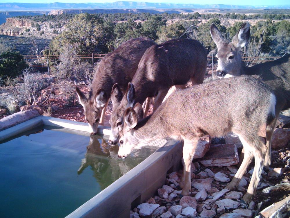 AZ Deer Little Springs.jpg