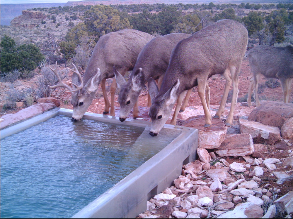 AZ Deer-2 Little Springs.jpg
