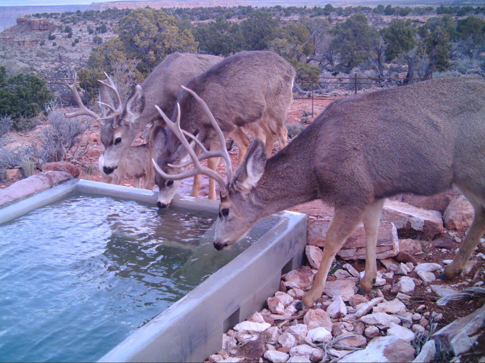 AZ Deer-3 Little Springs.jpg