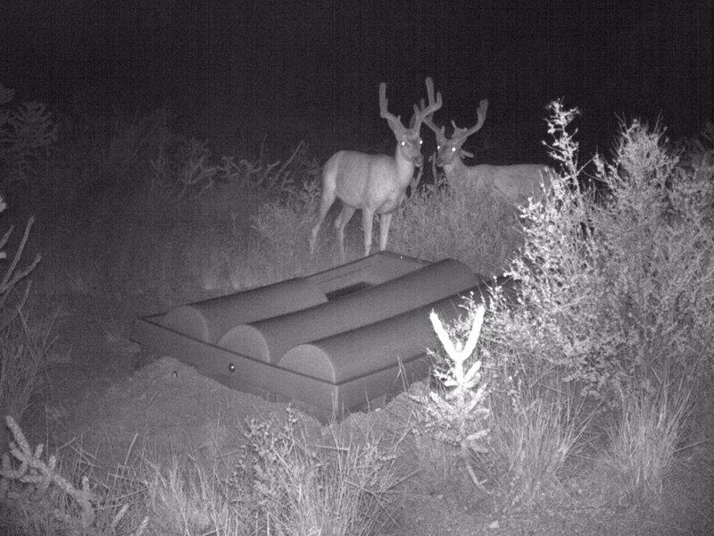 Night Deer.jpg