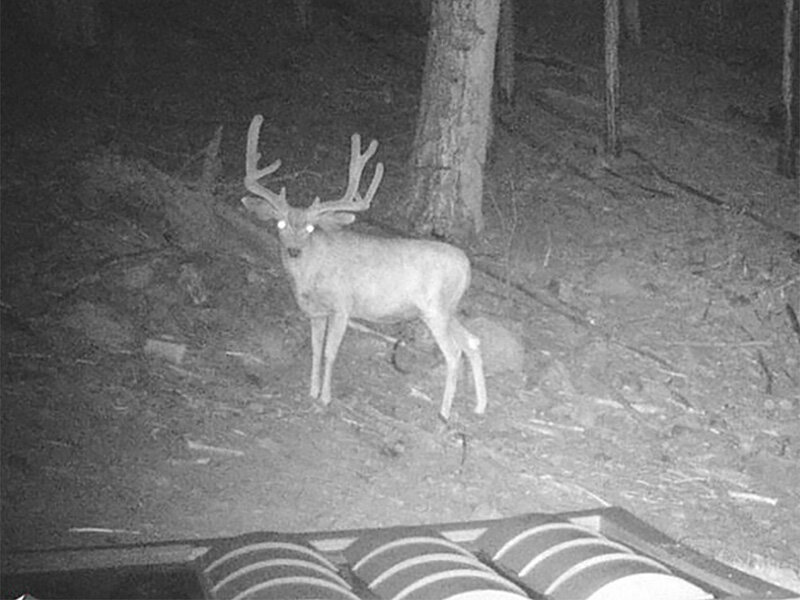 Night Deer-1.jpg
