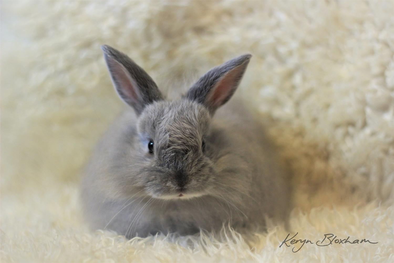 Male Jersey Woolly Rabbit