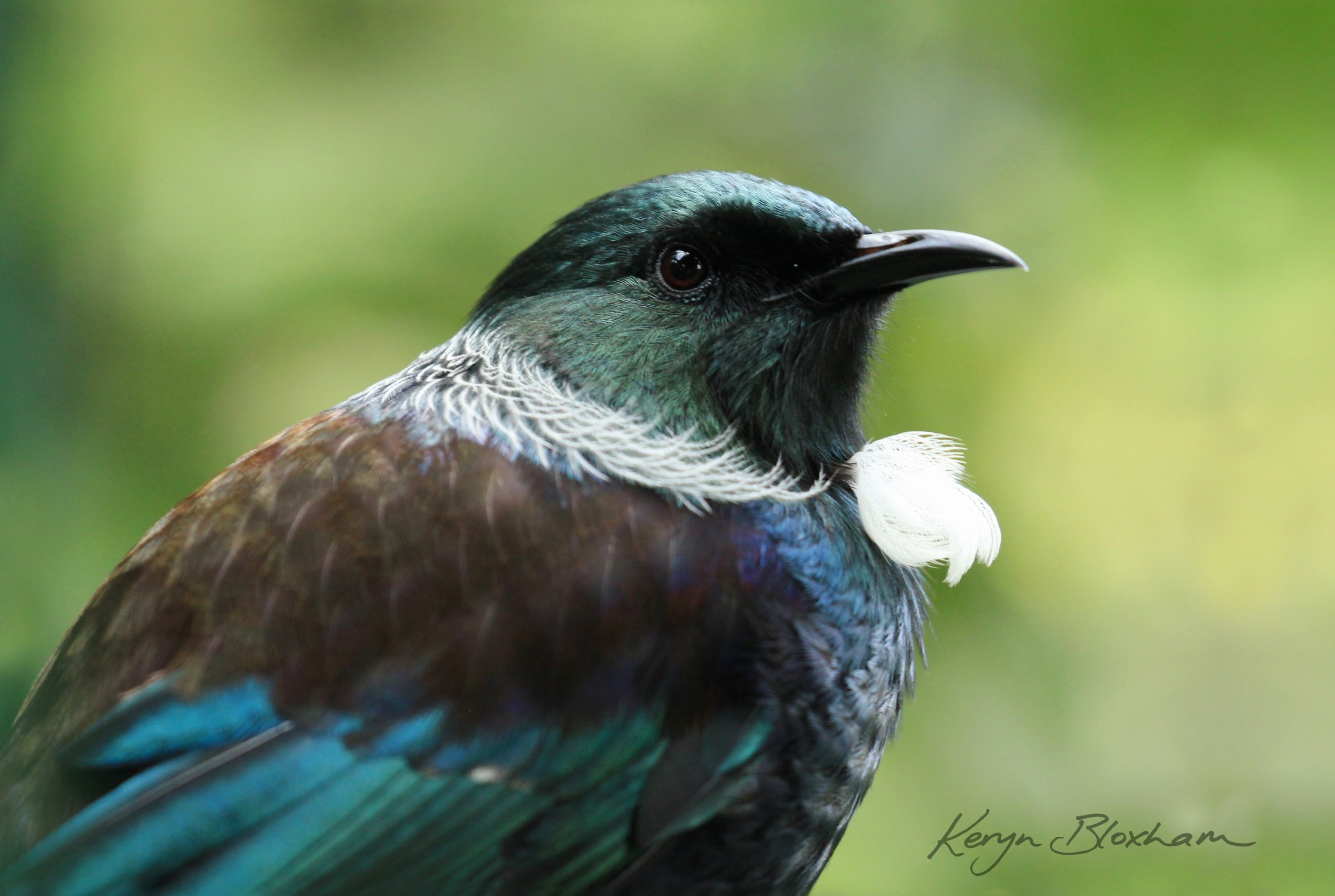 Tui - One of my most popular canvas prints, available as a variety of print sizes.