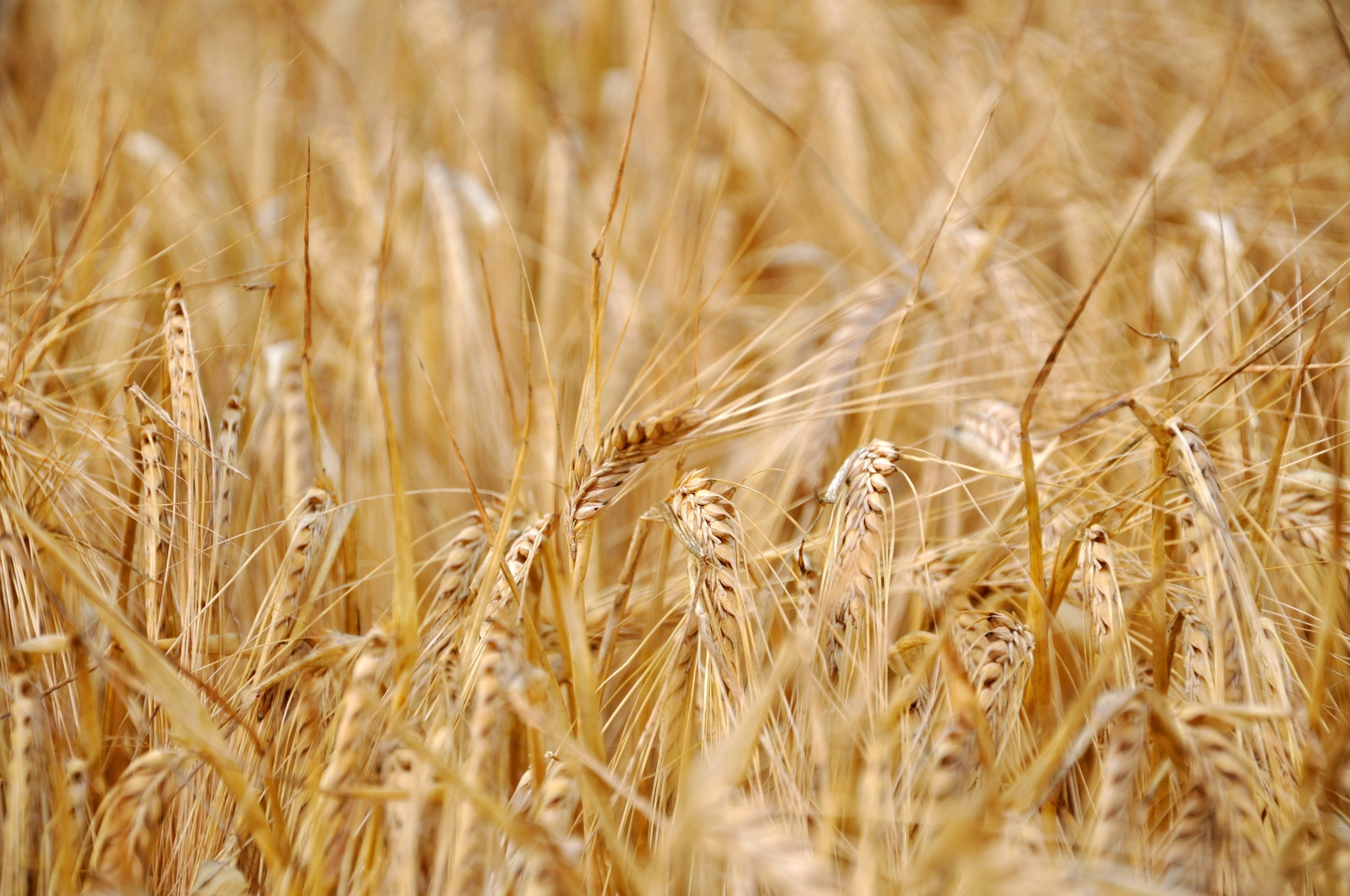 Cereal rye, barley, maize, oats, sorghum, wheat, triticale