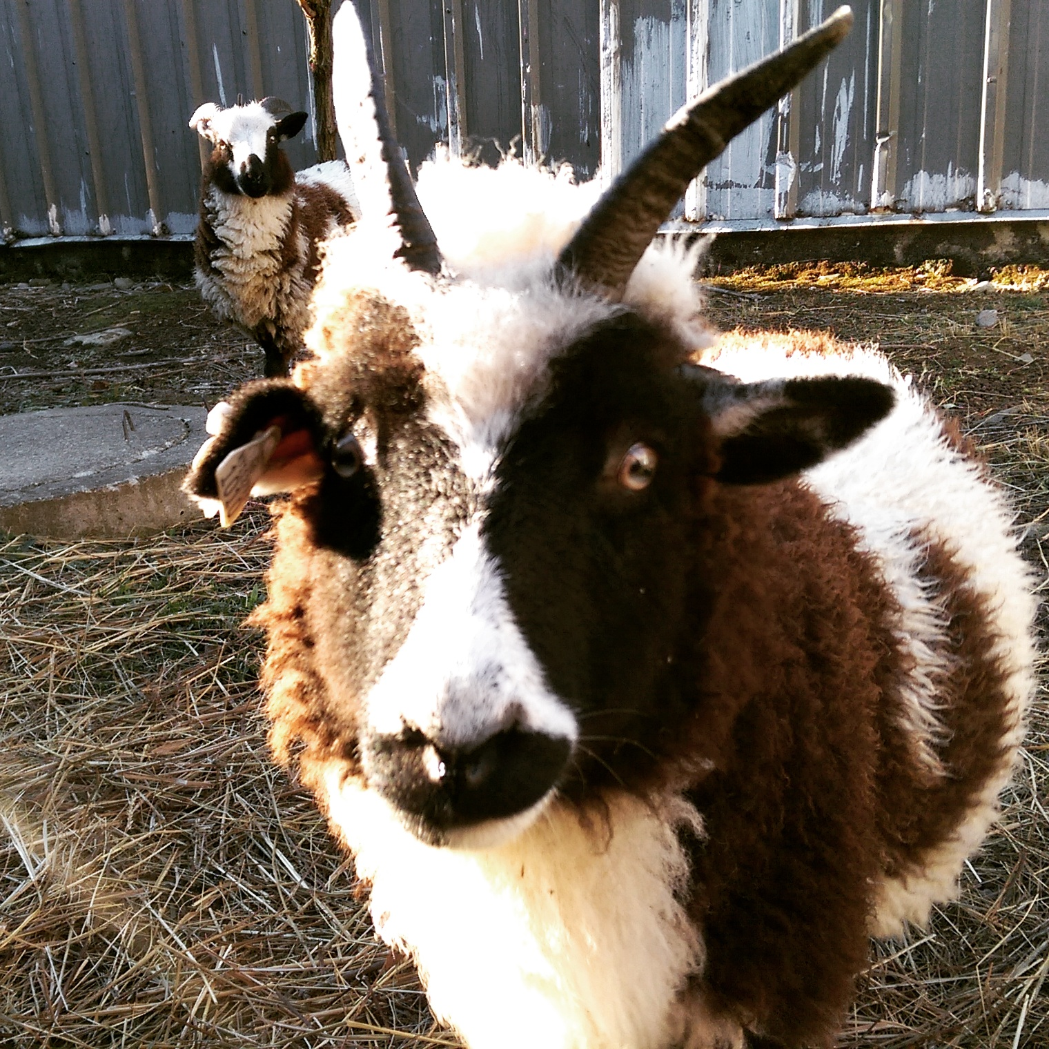 Clover: Our 4 horned ewe