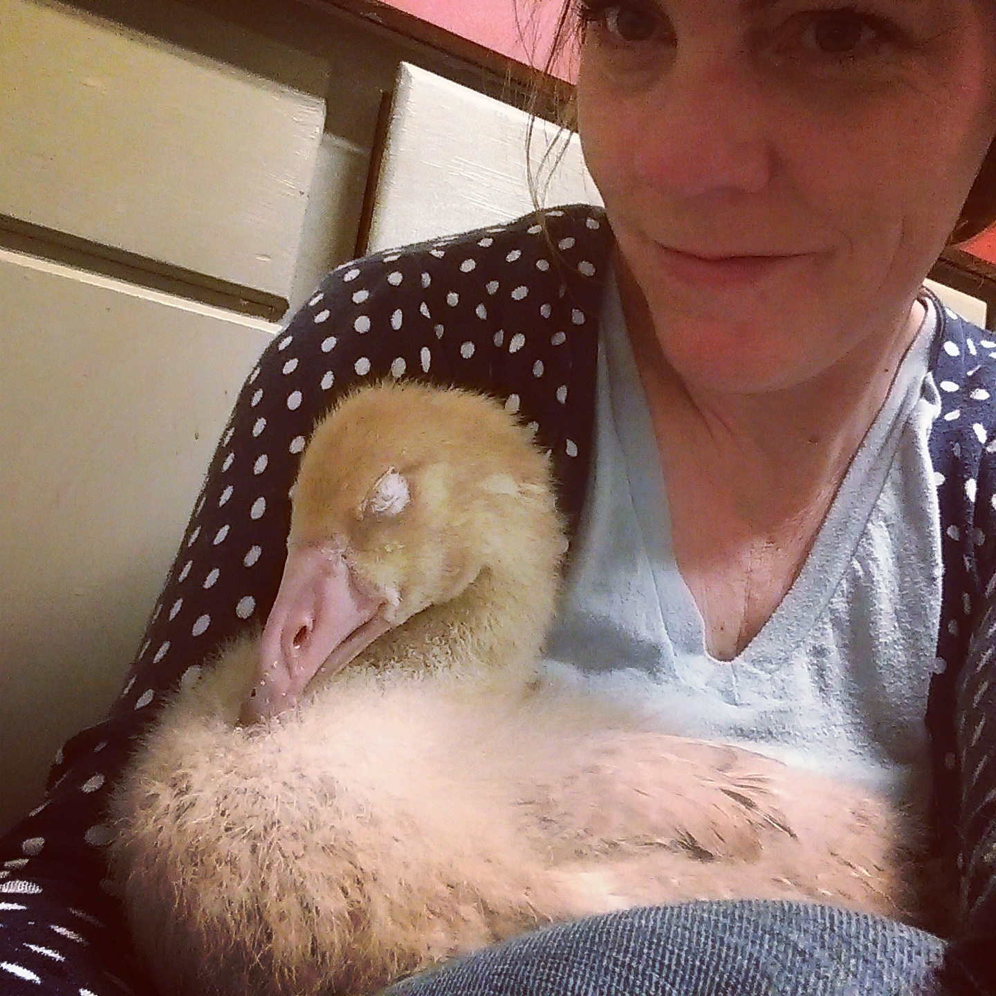 Snuggling a snoozing gosling. Yes! She actually did make little squeaky honking sounds when she snored.
