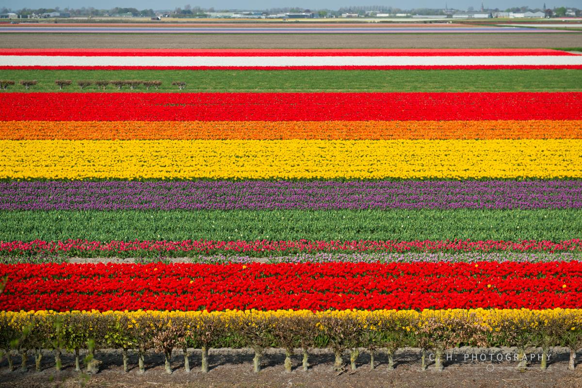 Tulip Fields - Keukenhof, The Netherlands