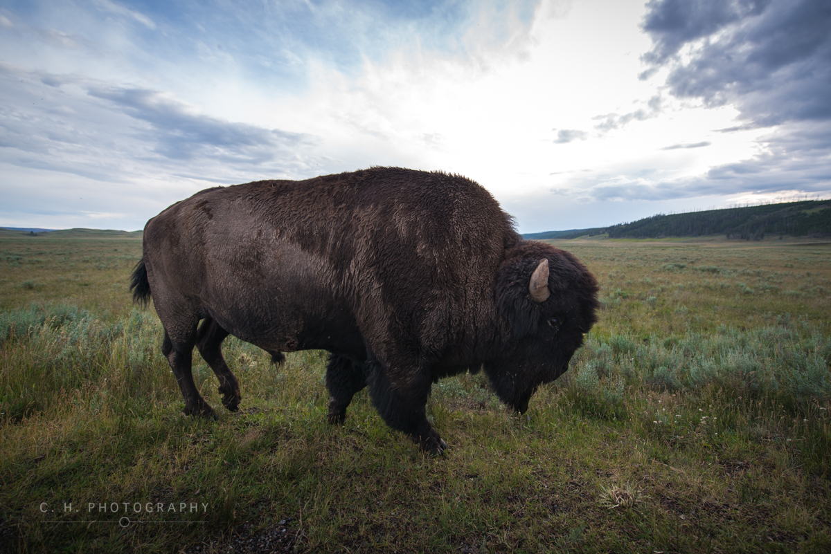 Bison Up Close - Yellowstone National Park, USA