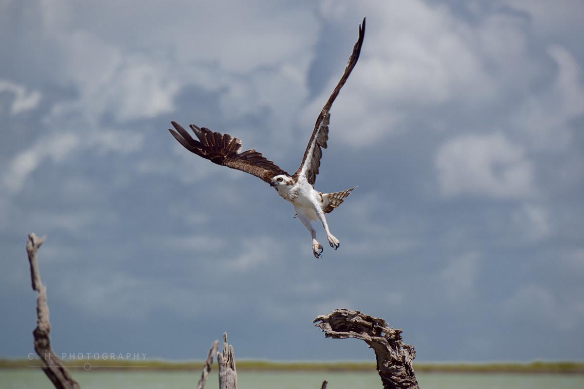 Osprey Taking Flight - Sian-Ka'an, Mexico