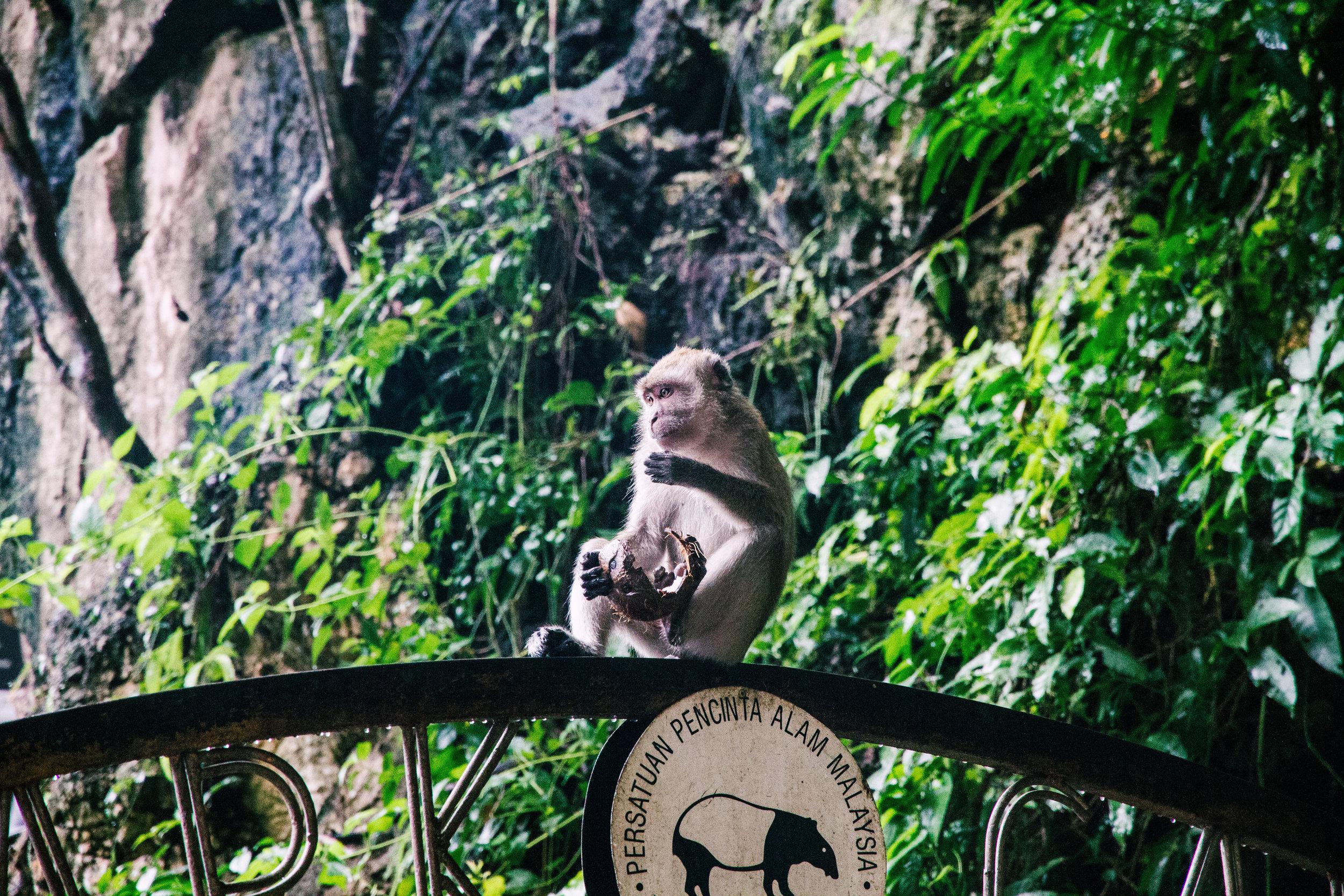 batu caves kl kuala lumpur monkeys